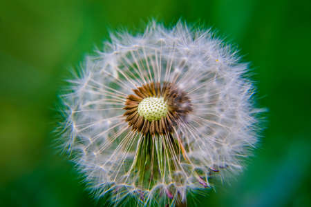 A dandelion with its seeds at sight on a green background, Taraxacum erythrospermum