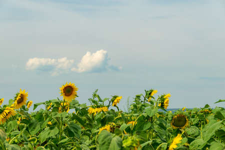 Field of blooming sunflowers with a blue sky background Foto de archivo