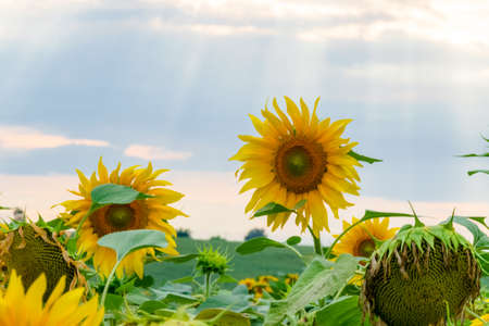 Beautiful field of blooming sunflowers on a background sunset