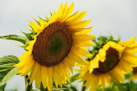 Beautiful sunflower with a blue sky background Foto de archivo