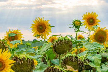 Beautiful field with sunflowers on the sunset Foto de archivo