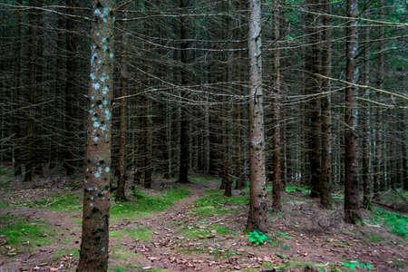 A fir forest from the Fairies Garden, Borsec, Romania