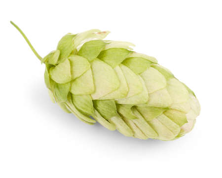 hop cone: hop isolated on a white background