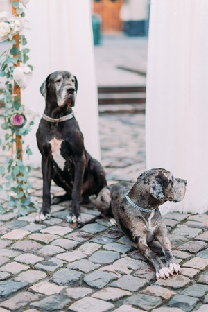 hounds: Two purebred hounds sitting near the wedding arch  in the centre of ancient european city close up.