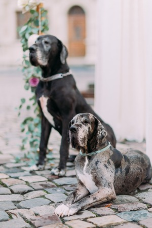 guarding: Couple of beautiful purebres dogs guarding the wedding arch. Stock Photo