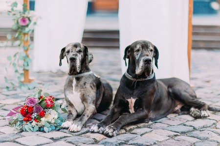 guarding: Two beautiful dogs lying on the pavement close up