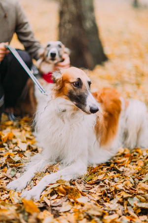 collies: Pure-bred collies in the autumn forest close up. Stock Photo
