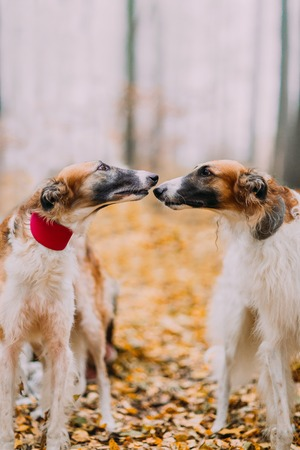 collies: Two pure-bred collies kiss in the forest close up.