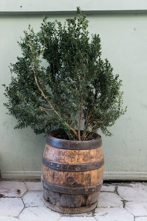 potting soil: Green bush in the decorative barrel on the wall background.