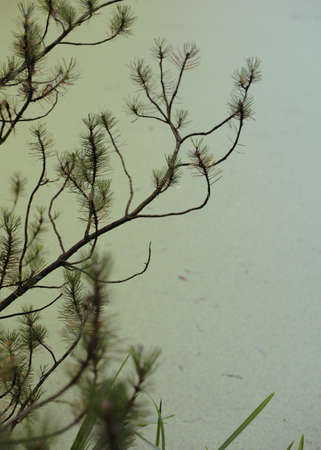 piny: Green pine tree branches against the rippled water surface, close-up. Stock Photo