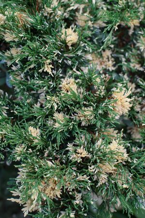 thuja occidentalis: White cedar tiny green leaves background. Natural texture of conifer trree.