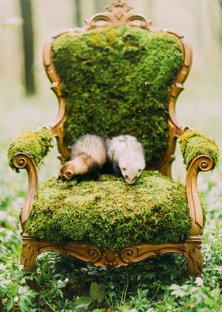 The vertical close-up photo of the brown and white ferrets lying on the vintage chair full of the green moss. Green conseption