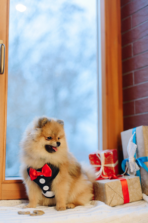 The portrait of the German Spitz in modern pet suit sitting on the window-sill nea the window, surrounded by colourful present and cookies