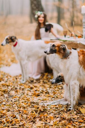 Beautiful bride with her collies in the autumn forest Stock Photo