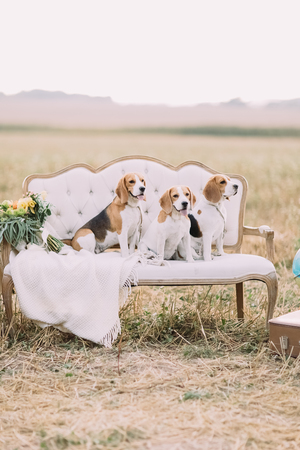 Three dogs are sitting on the old-fashioned sofa covered with the knitted plaid near the colourful bouquet at the background of the sunny field. Stock Photo