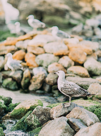 The vertical photo of the gull standing on the stones and watching the sunset Stock Photo