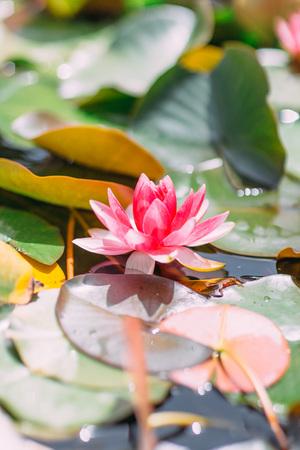Mooie roze waterlilia in de rivier