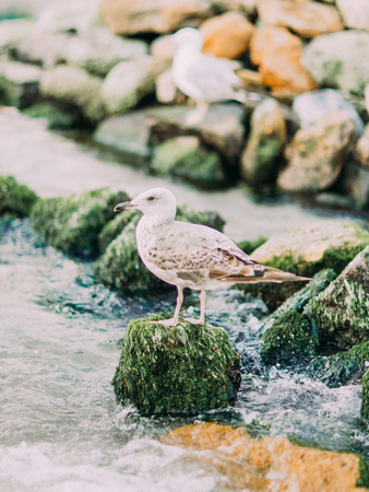 The gull is sitting on the stone overgrown with moss at the background of the sea and mountains Stock Photo