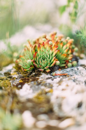 The side photof the green and red herbs growing on the rocks in the mountains Stock Photo