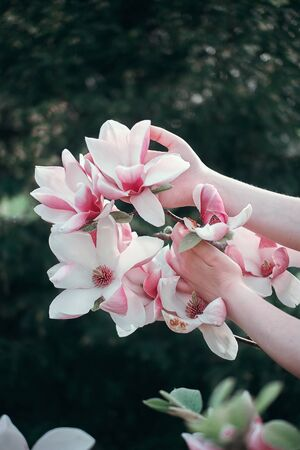 Hands holding Sakura Branch, close up. Calm pink nature colours. Banque d'images - 142547140