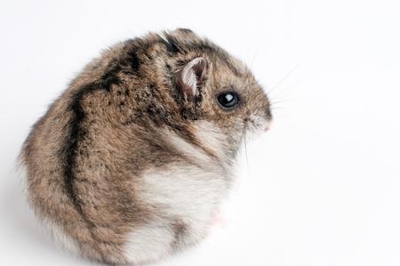 hamster back  Phodopus sungorus