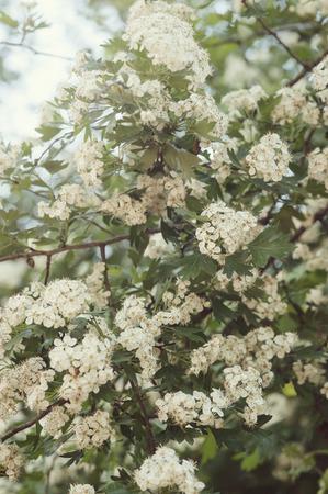 Blooming spring cherry blooming
