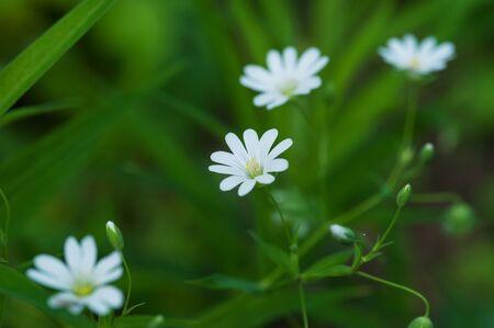 Blooming spring meadow white wildflowers in herb Stock Photo