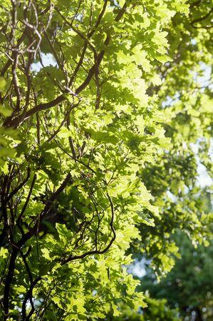 Spring green tree foliage oak-tree