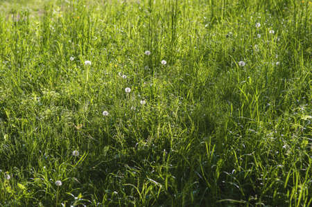 meadow  grass: Blooming primavera prado de hierba