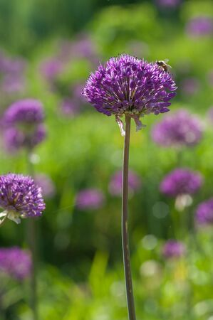 Blooming spring meadow purple lilac allium flowers