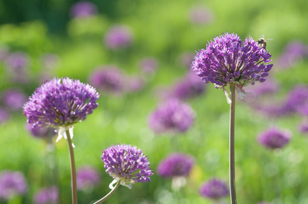 allium: Blooming spring meadow purple lilac allium flowers
