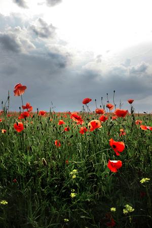 the flowers - a poppy in the field.