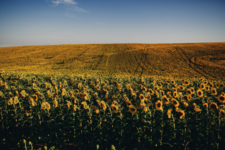 Beautiful sunflowers in the field natural background, Sunflower blooming