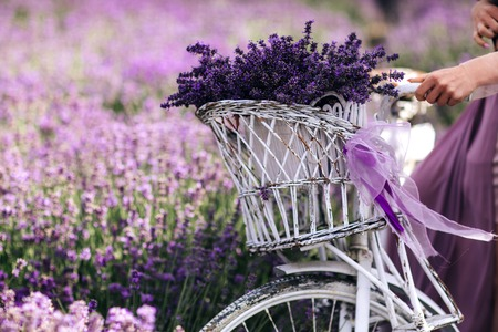 a bouquet of lavender in a basket on a bicycle in a lavender field a girl holding a velispette without a face collecting lavender in summer Reklamní fotografie - 122259743