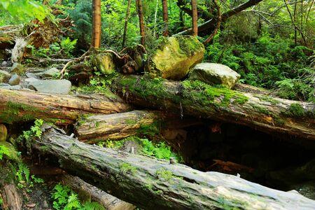 umgestürzte Bäume im Wald mit Moos bedeckt. Das Moos bedeckte Felsen und umgestürzte Bäume ein uraltes Waldland.