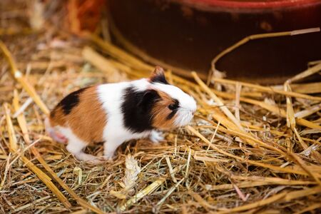 guinea pig in the hay. Cute Red and White Guinea Pig Close-up. Little Pet in its House Stock Photo