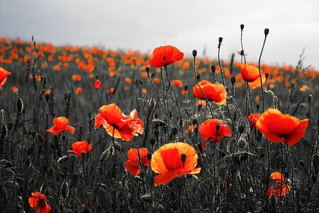 Beautiful poppies on black and white background. Flowers Red poppies blossom on wild field. Beautiful field red poppies with selective focus. Red poppies in soft light Stock Photo