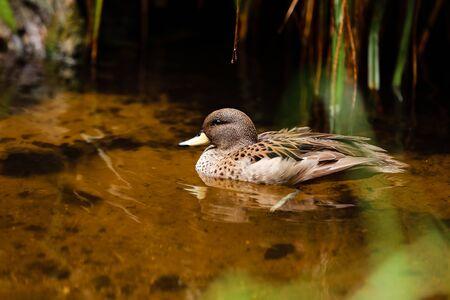 Mallard in the pond, beautiful wild duck swims in the water.