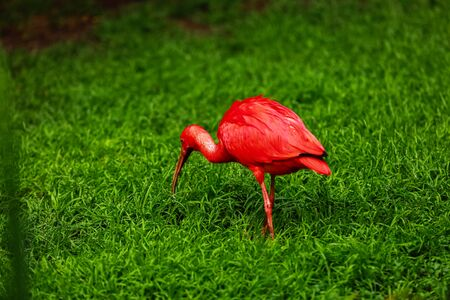 red ibis on green natural grass background. The scarlet ibis Eudocimus ruber looking for food in green grass. Red water tropical bird on the ground in the grass on a green background