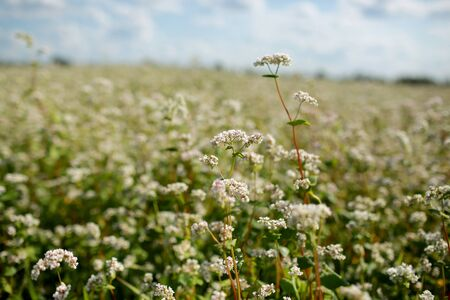 blooming buckwheat and blue sky background. Buckwheat field during flowering. Growing buckwheat in the farm.