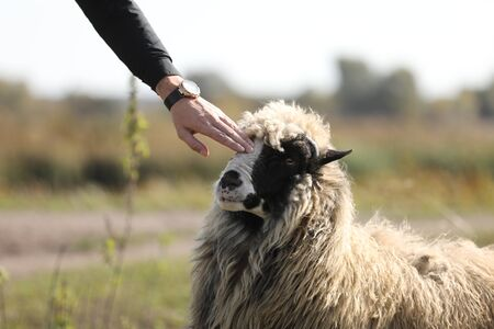 Male hand petting a friendly sheep outdoors in the green field. selective focus.