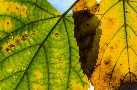 Yellowed leaves close-up. Autumn leaves. Sad time of the year.