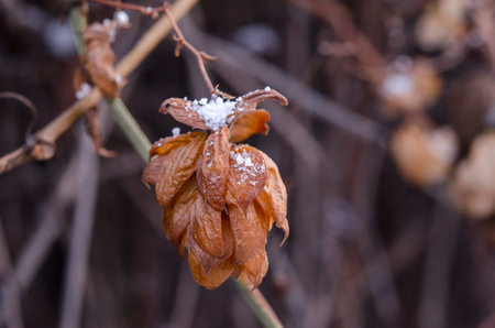 Crystals of snow on a dried hop flower. Withered hop flower close-up. Stock Photo