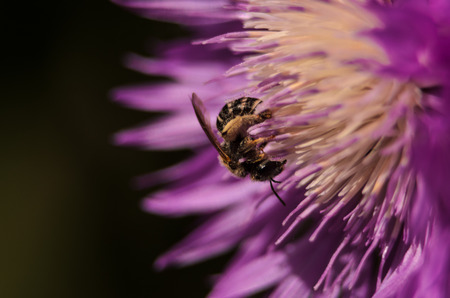 Closeup of a golden honey bee which pollinates a flower in garden with purple petals. Beautiful natural abstract background.