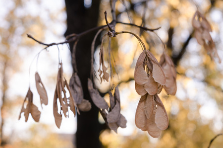 Dry fruits of the Norway maple on a bare branch in the autumn park close-up on a blurred background of yellow leaves.