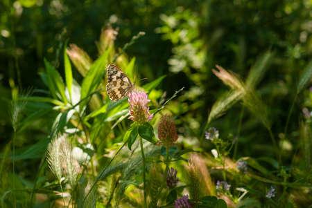 Melanargia galathea is feeding on the nectar of a meadow flower.