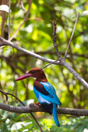 The beautiful white-throated kingfisher bird (Halcyon smyrnensis)