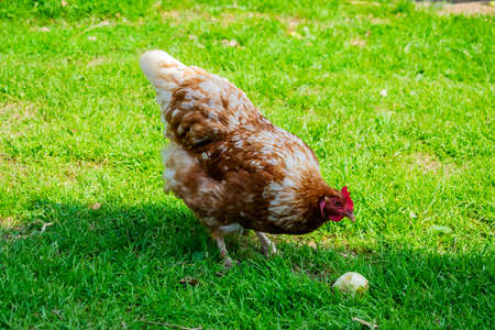 chicken bird on the green lawn of the farm by the countryside Stok Fotoğraf