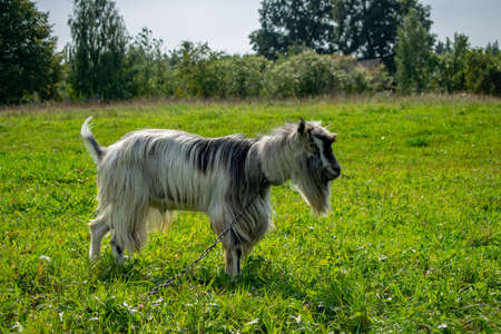 goat grazing on the lawn in the summer in the countryside