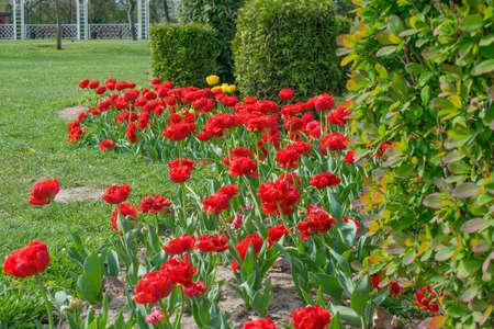 flowers terry tulips growing in spring in the park 版權商用圖片